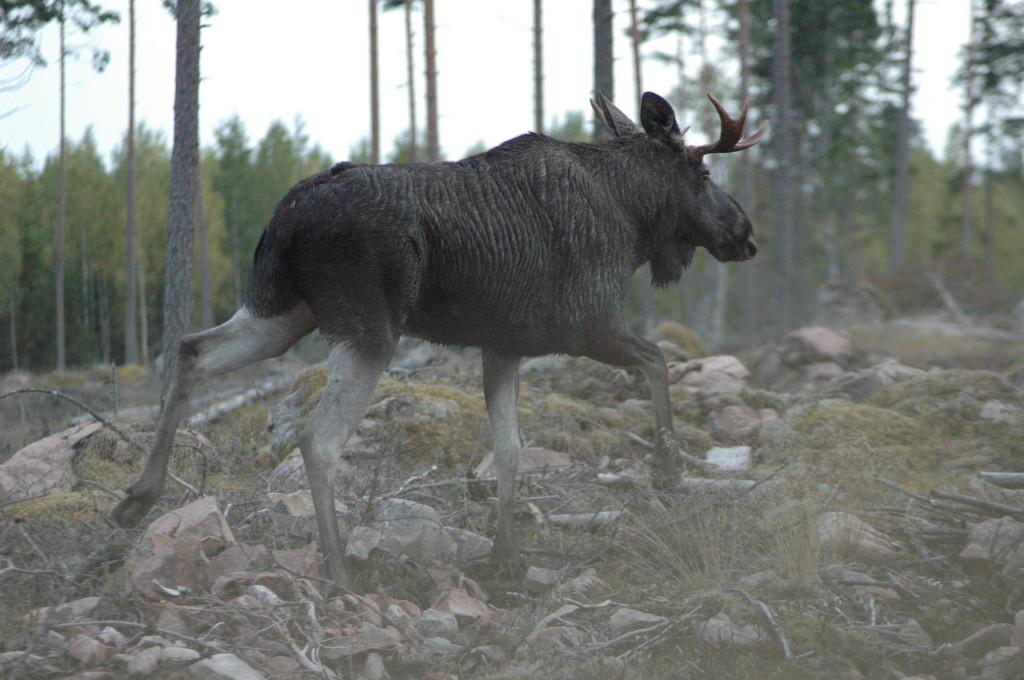 Älgtjur Nära Mosjön september 2013 Foto:Tom Sävström