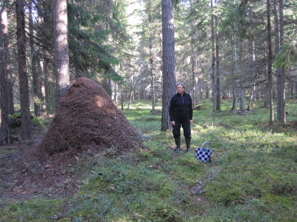 Imponerande myrstack i äldre grandominerad barrskog på Björksnarsskogen väster om Seglingsberg,  7/10 2012. Foto: Tom Sävström