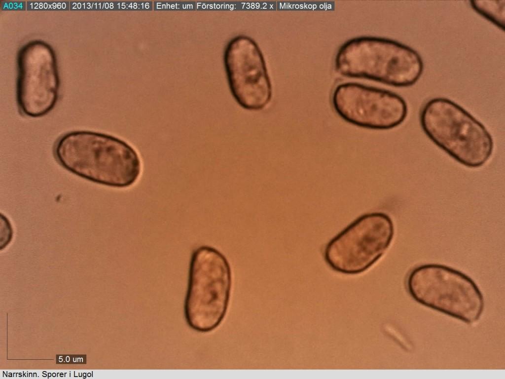 Narrskinn. +- cylindriska sporer. Björsbo 8/11 2013 Mikroskopi: Lars Bsenko