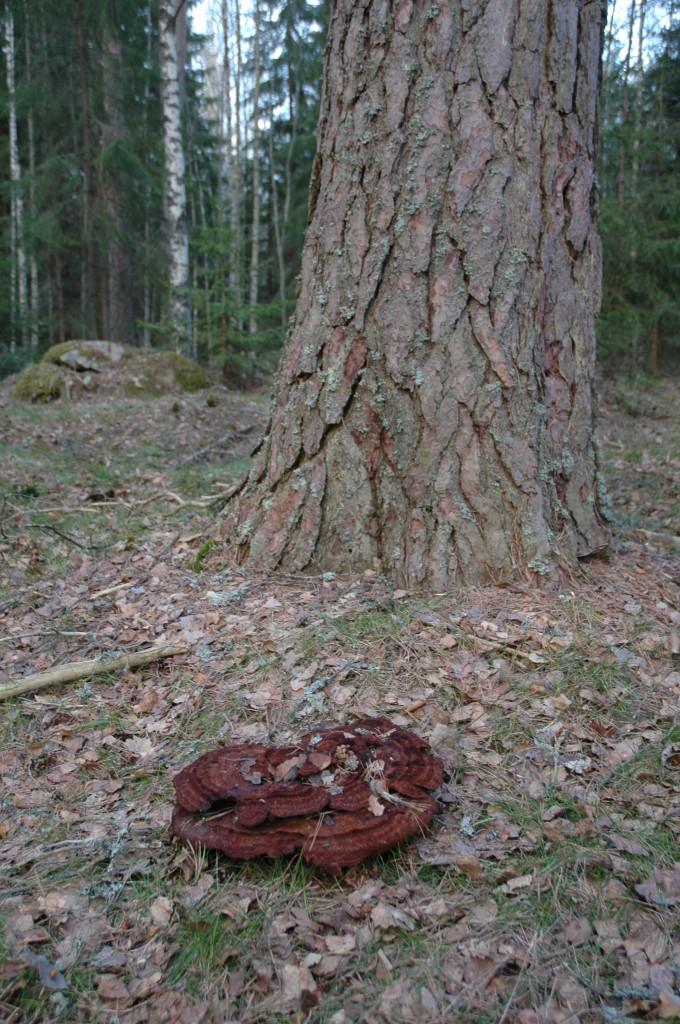 Grovticka vid gammeltall, Gatstugan 1/5 2010.  Foto: Tom Sävström