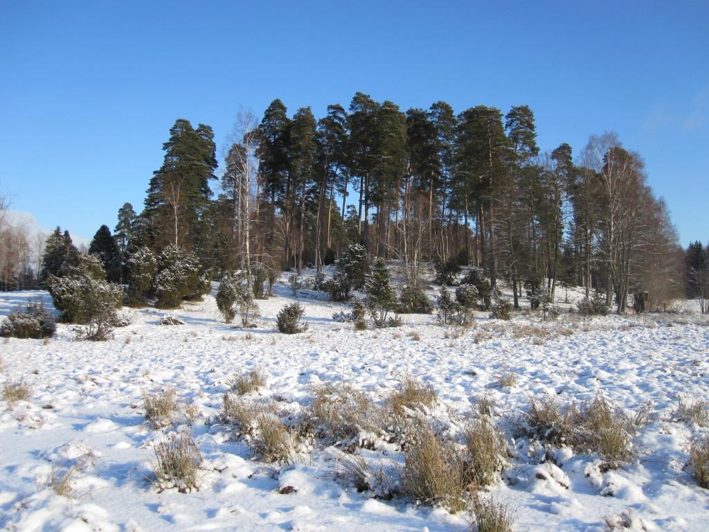 Talldunge i betesmark vid Gatstugan. 2/2-2012. Foto: Tom Sävström