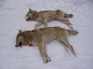 Svartboparet döda i snön. Foto: Länsstyrelsen i Gävleborgs län.