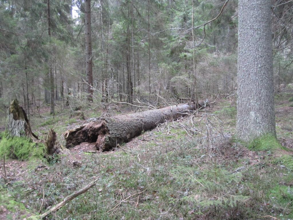 Låga med rynkskinn i Djupmossens NR, 10/1 2014. Foto: Tom Sävström