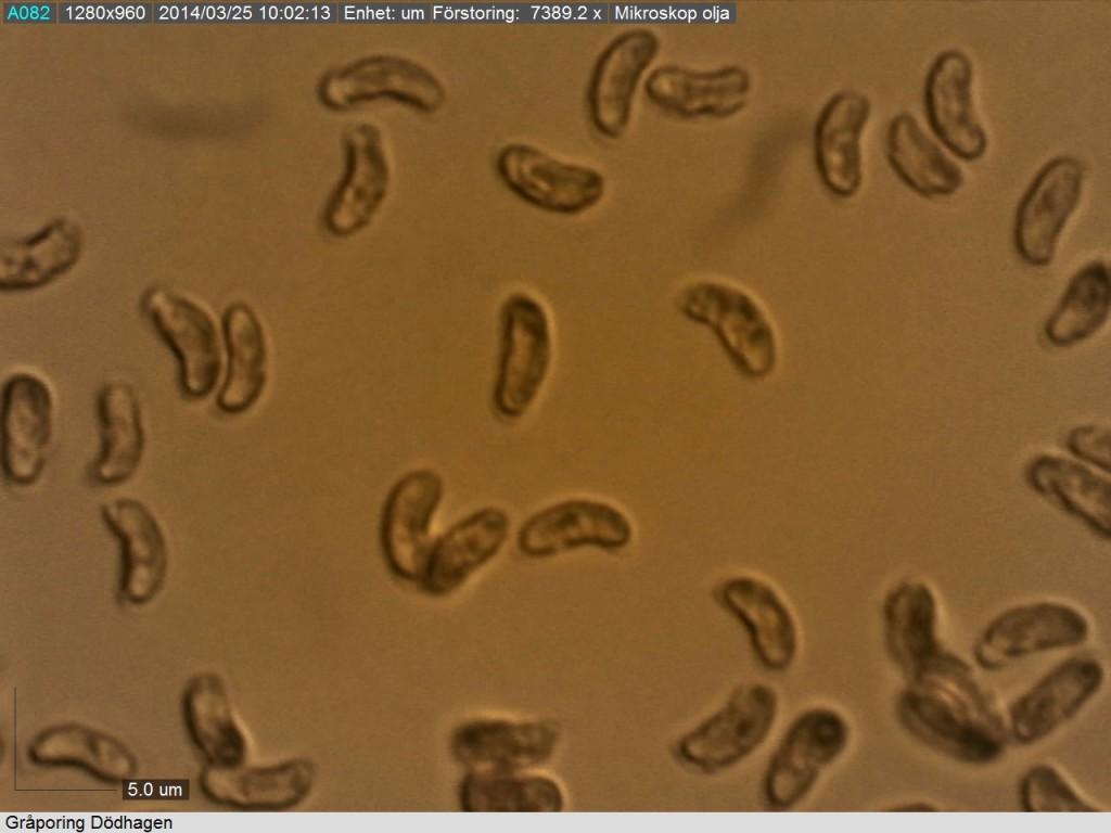 Allantoida sporer ( 5-6.5/2 mikrometer) från gråporing. Dödhagen 24/3 2014. Mikroskopi: Lars Bsenko