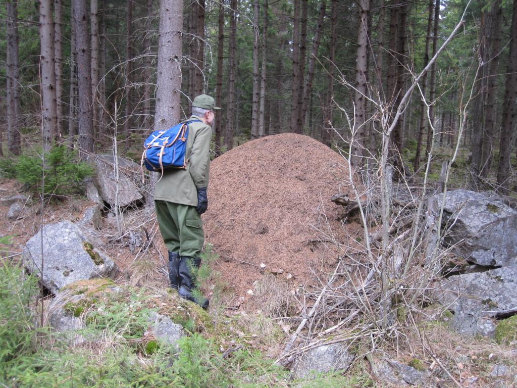 Skapligt stor myrstack i skogsbryn vid Allmänningstorp, (Skultuna sn), 14/3 2014. Foto: Tom Sävström