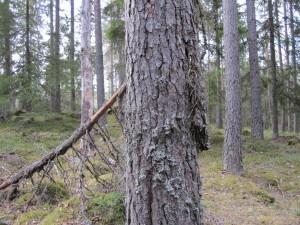 Trädkryparens bo syns mellan stammen och den utstickande barken på tall. Stenramen 28/4 2011. Foto: Tom Sävström