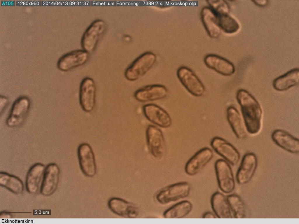 Ekknotterskinnets cylindriska sporer (6-7/2.5-3 mikrometer).  Bovallen N 12/4 2014 Mikroskopi: Lars Bsenko