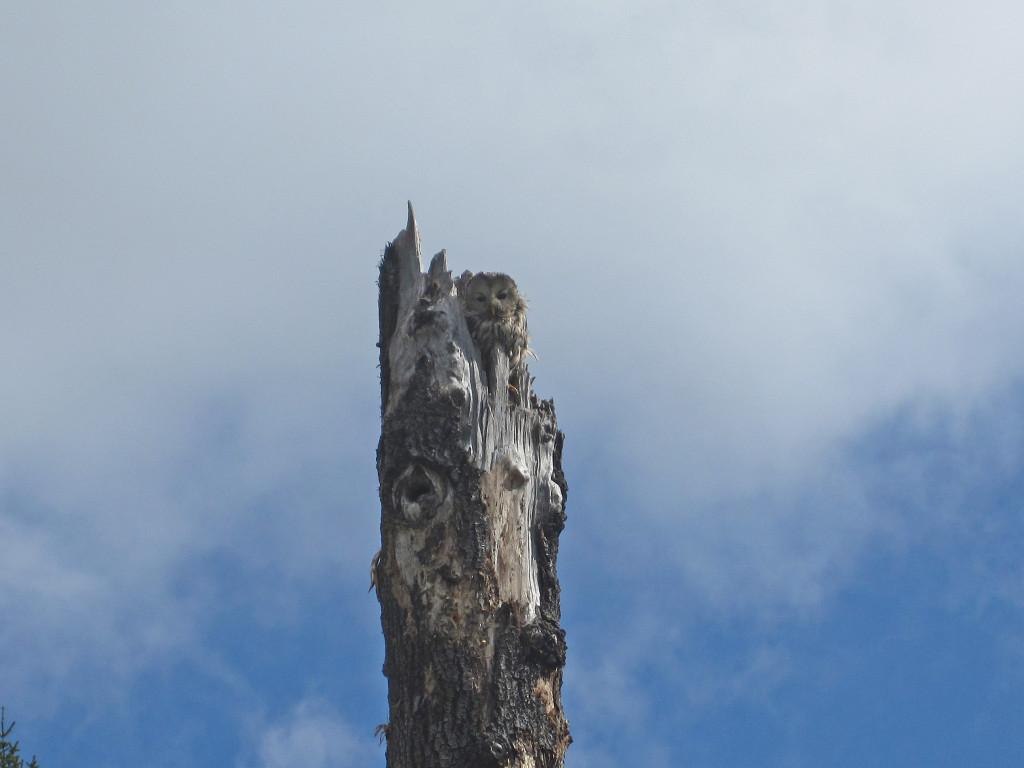 Slaguggla i sitt avbrutna boträd (asp) på Suraskogen, maj 2014.  Foto: Tom Sävström