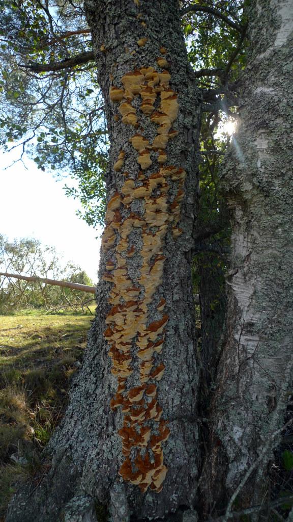 Alticka, nybildade fruktkroppar på klibbal. Kohagen NR 27/9 2014.  Foto: Lars Bsenko