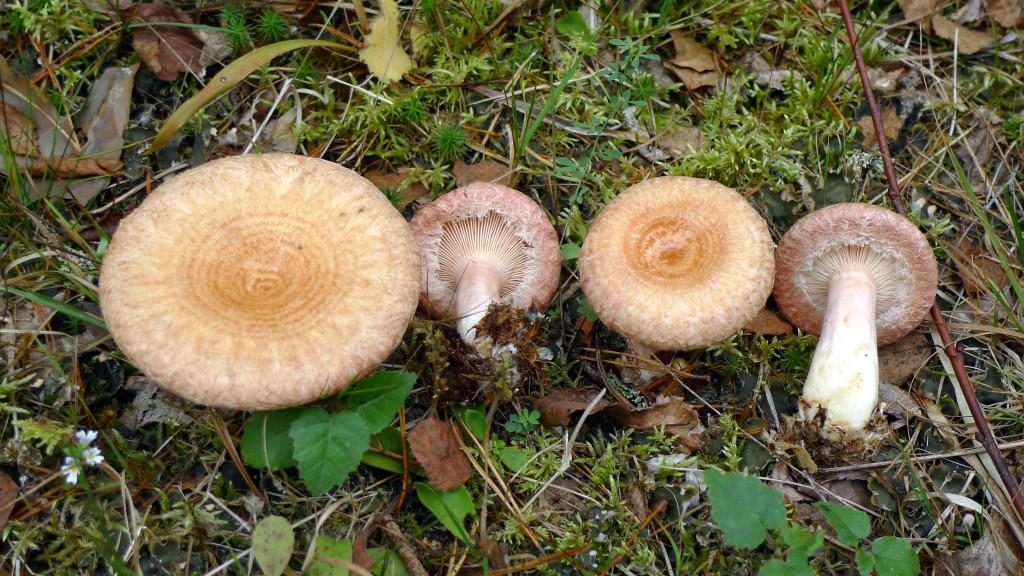 Skäggriskan påträffas ofta längs skogsvägar med björk. Jan-Olsskogens NR (västra delen) 12/9 2014.  Foto: Lars Bsenko