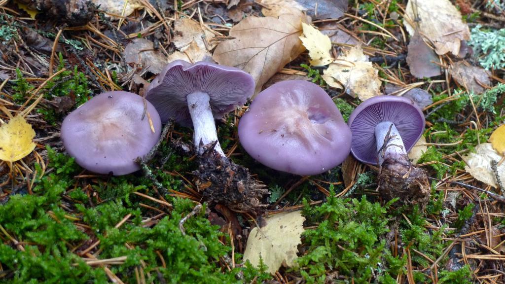 Blåmusseronen växer ofta i lövförna och i komposter. Naddtorpet SV 10/10 2014. Foto: Lars Bsenko