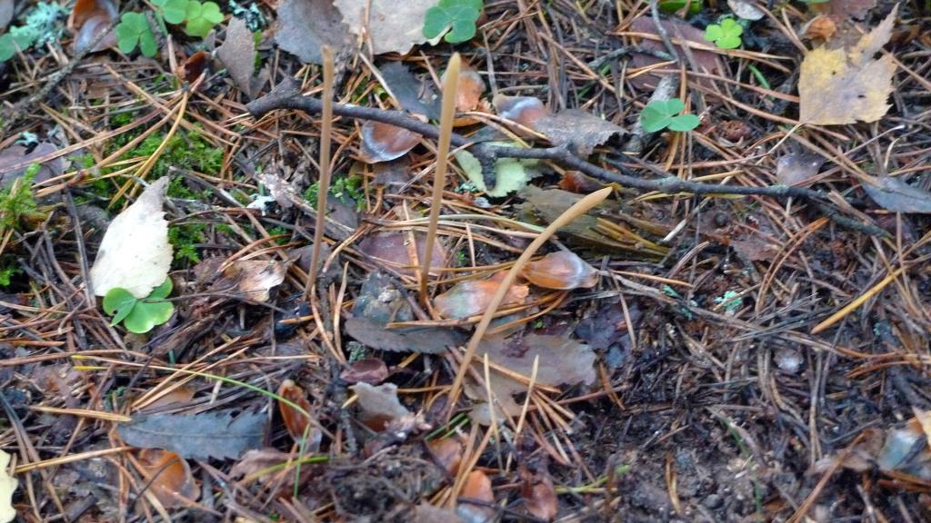Tre fruktkroppar av stor pipklubba som växer på dolda lövved i marken.  Lergropen 14/10 2014. Foto: Lars Bsenko