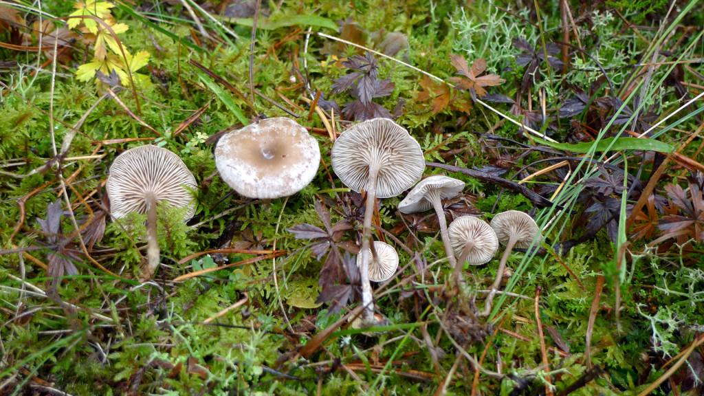 Glansrussulingen växer ofta längs skogsvägar.  Jan-Olsskogen NR (östra delen) 10/8 2014. Foto: Lars Bsenko
