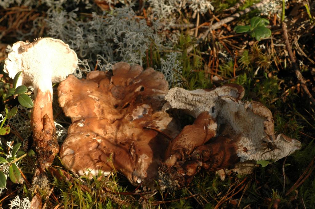 Grantaggsvampen växer i mossig granskog. Actjärnsåsen S 2/9 2010. Foto: Lars Bsenko