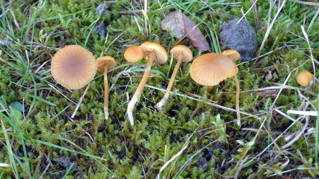 Blekfotad hätting växer i naturbetesmark.  Kohagen NR 30/10 2014. Foto: Lars Bsenko