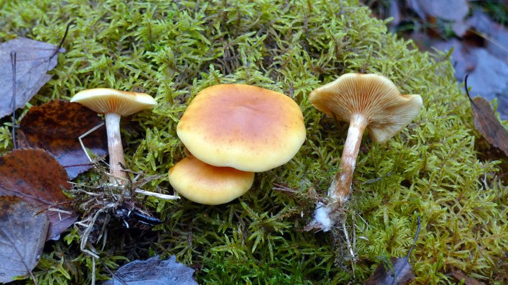Den fläckiga bitterskivlingen växer oftast på barrved. Gatstugan NV 25/10 2014. Foto: Lars Bsenko