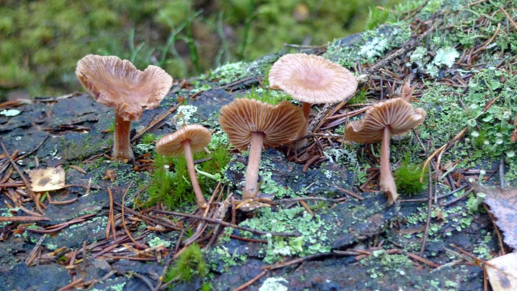 Kanelnagelskivlingen kan växa på barken på granlågor. Björsbo 30/10 2014. Foto: Lars Bsenko