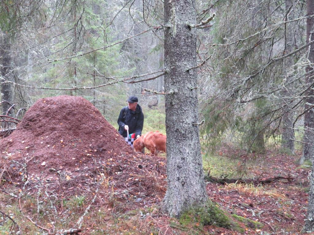 Gammal mäktig myrstack i gammal granskog, öster om Ulvramen, Ramnäs, 2/11 2014. Foto: Gunnel Sävström