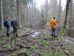 Här studeras bävrarnas verk vid Bjurdämpan i Djupebo naturreservat. 30/11 2014. Foto: Tom Sävström