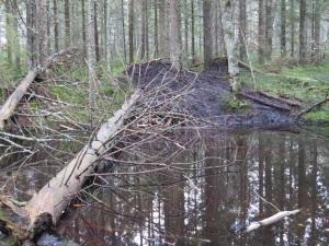 Bäverhydda i Bjurdämpan, Djupebo naturreservat. 30/11 2014. Foto: Tom Sävström