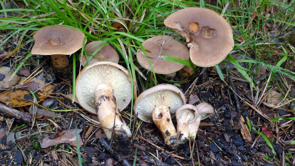 Lakritsriskan växer både med tall och gran. Ramnäs O 7/9 2011. Foto: Lars Bsenko