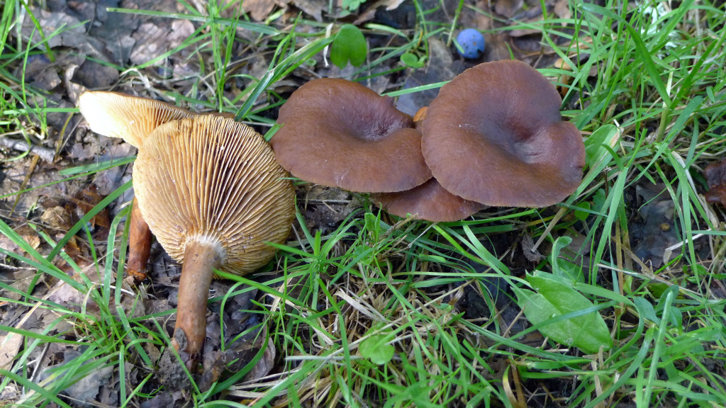 Stinkriska växer med ädla lövträd. Strömsholms NR 12/9 2011. Foto: Lars Bsenko