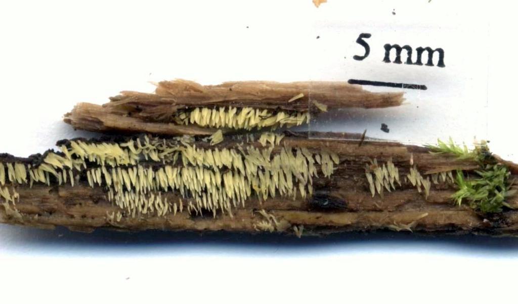 Dvärgpiggen växer i detta fall på murken lövved. Sörsjön SO 16/10 2014. Skannad: Lars Bsenko