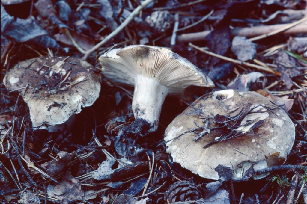 Skarp svedkremla växer i löv- och barrskog. Slagghögarna 7/7 1999. Inskannad från dia: Lars Bsenko