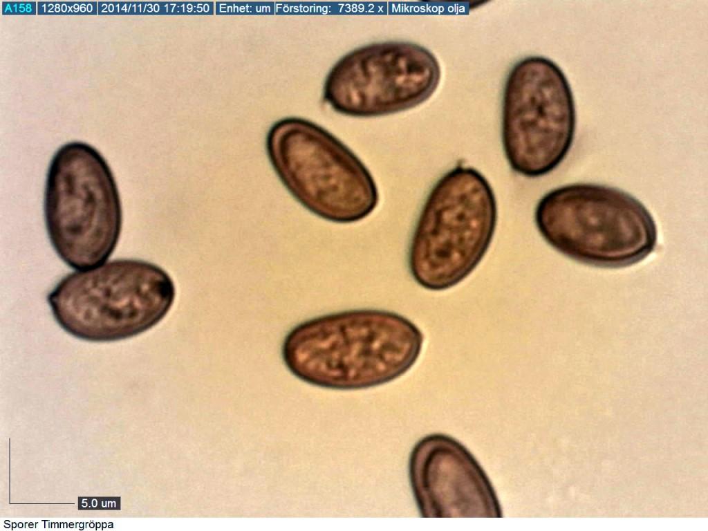 Timmergröppan har tjockväggiga sporer 9-11/5-6 um. Djupmossen NR 30/11 2014. Mikroskopi: Lars Bsenko