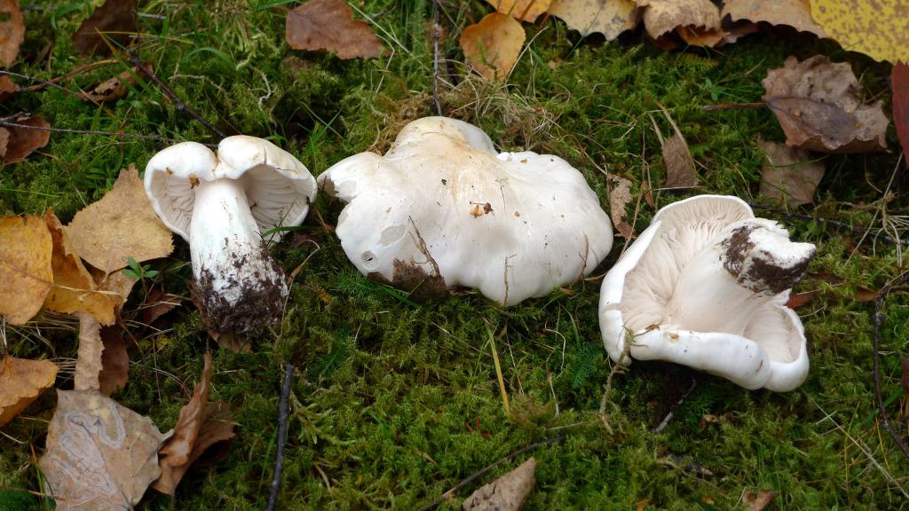 Silkesmusseronen växer i lövskog med ek och björk. Kohagen NR 18/10 2014. Foto: Lars Bsenko