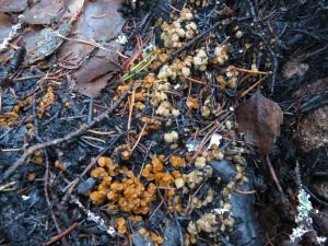 Anthracobia maurilabra på bränd mark, Långmossen, NO Virsbo, 8/12 2014. Foto: Tom Sävström