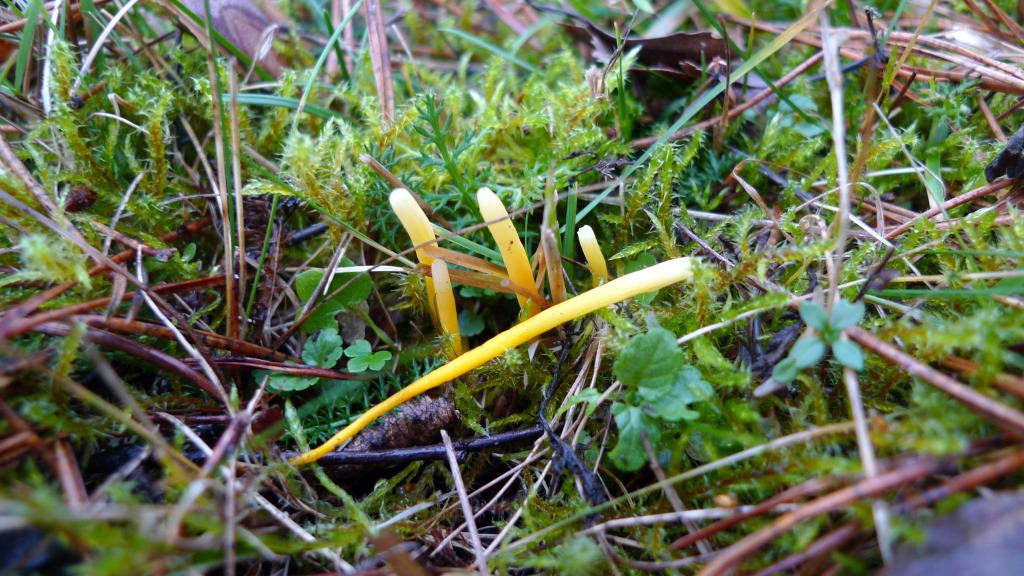 Hagfingersvampen växer bland gräs och örter. Gatstugan naturbetesmark 5/11 2014. Foto: Lars Bsenko