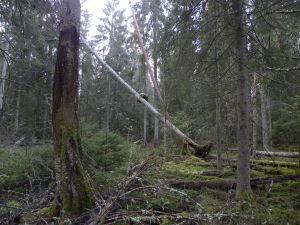 Rikligt med död ved i urskogen. Djupmossen NR 30/11 2014. Foto Lennart Eriksson