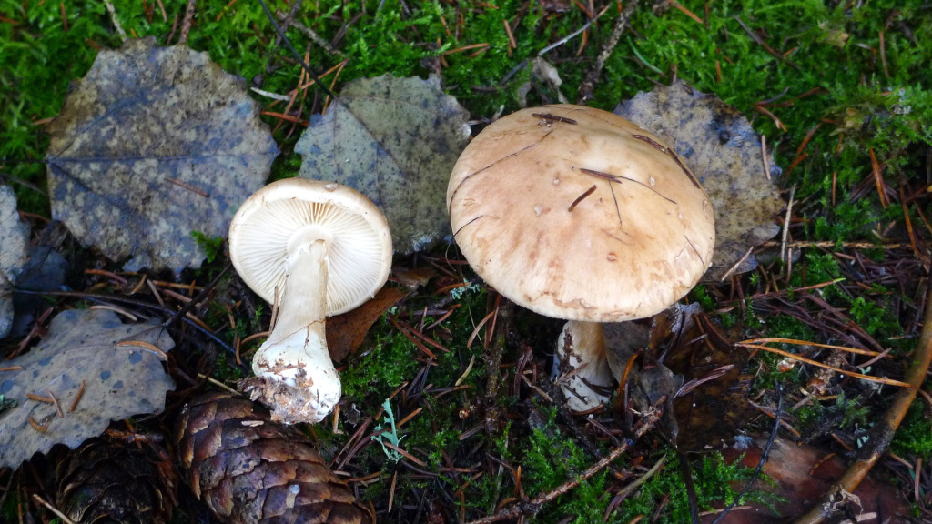 Bleksporig spindling växer ofta i mossig granskog. Gatstugan 25/11 2014. Foto: Lars Bsenko