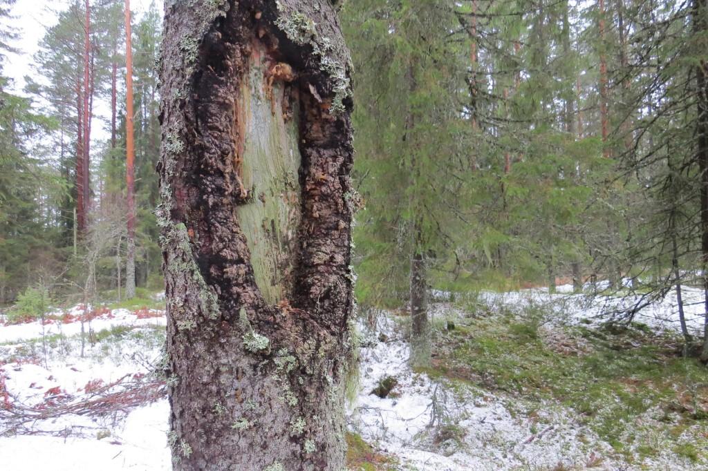 Grå nållav växer på veden på granens stamskada. Stenbromossen, 8/1 2015. Foto: Tom Sävström