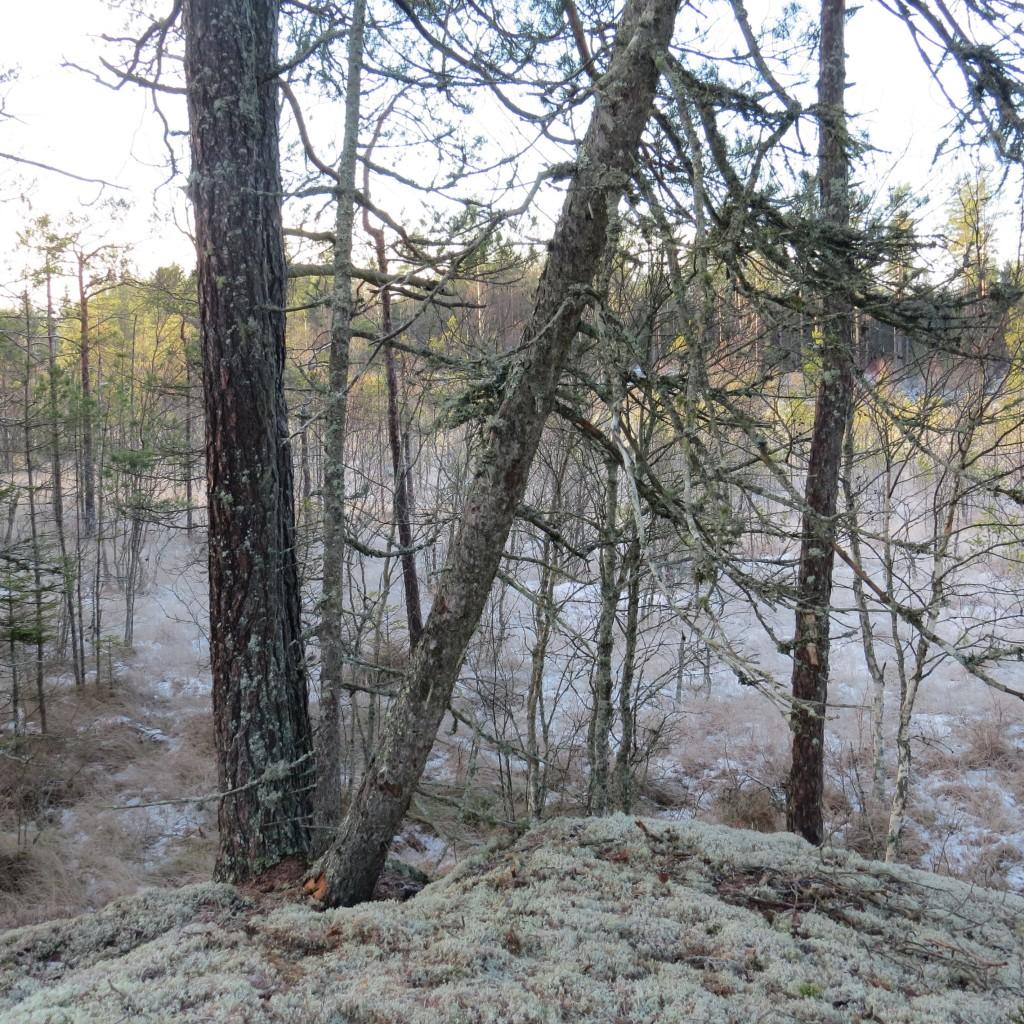 På de nedre grenarna på den lutande senvuxna granen växer grå nållav. Gillermossen, 9/1 2015. Foto: Tom Sävström