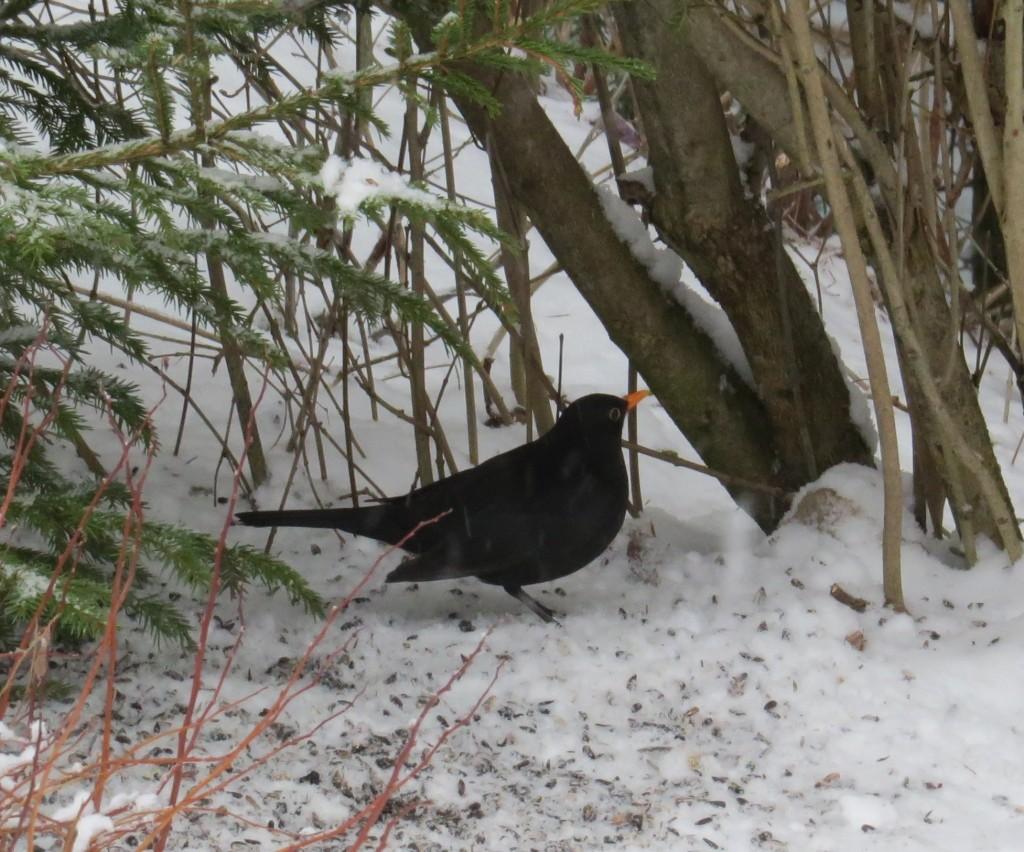 Koltrast, hane, vid fågelmatning, Stenbovägen 12, Surahammar, 21/1 2015. Foto: Tom Sävström