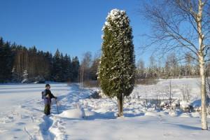 En vacker En i Usträngsbo, beundrad av Torbjörn. 23/1 2015. Foto: Tom Sävström