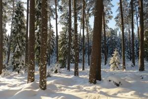 I talltitans skog, biotopskyddad. Usträngsbo, 23/1 2015. Foto: Tom Sävström