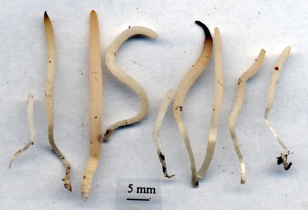 Opalfingersvampen växer i naturbetesmarker. Västsura ekhage 29/9 2003. Skannad Lars Bsenko