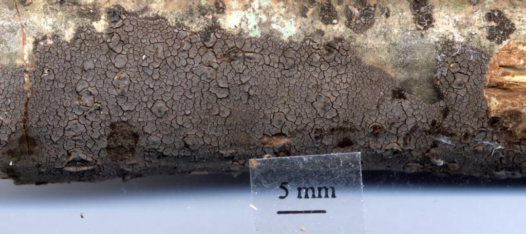 Toms kollekt av skorpskinnet som hittades på hassel 28/12 2014  i Kallmora. Skannad 23/2 2014 av Lars Bsenko