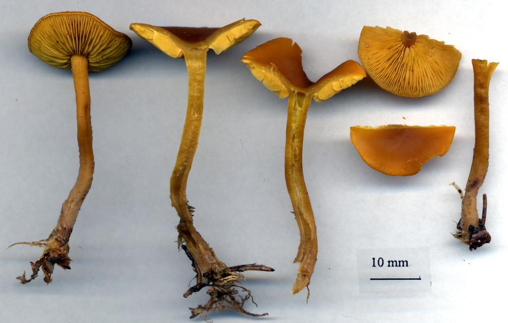 Vitköttig gullmusseron växer mest i barrskog. Naddtorpet S 27/7 2003. Skannad: Lars Bsenko