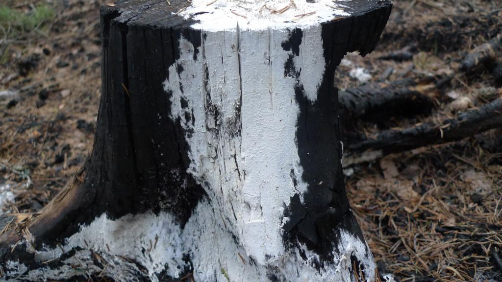 Vårspindelskinn på bränd granstubbe.  Barrskog, brandhärjad i den stora skogsbranden. Lilla Vallsjön S 16/3 2015. Foto: Lars Bsenko