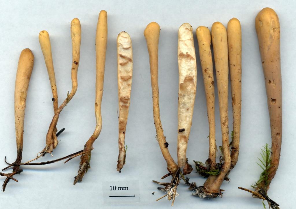 Storsporig klubbsvamp har stora sporer jämfört med sin närmsta släkting, barrklubbsvampen. Jan-Olsskogens NR 17/8 2003. Skannad: Lars Bsenko