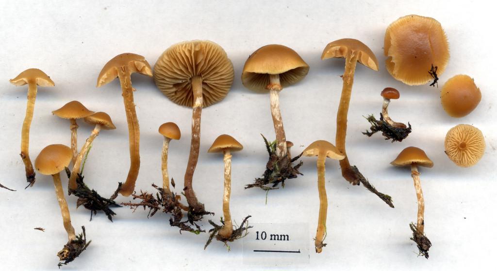 Gifthättinger växer på murken barrved. Surahammars bruksområde 30/9 2003 Skannad: Lars Bsenko