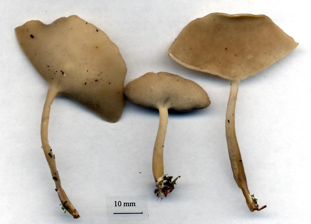 Luden skålmurkla växer i löv- och blandskog. Djupebo O 29/7 2003. Skannad: Lars Bsenko