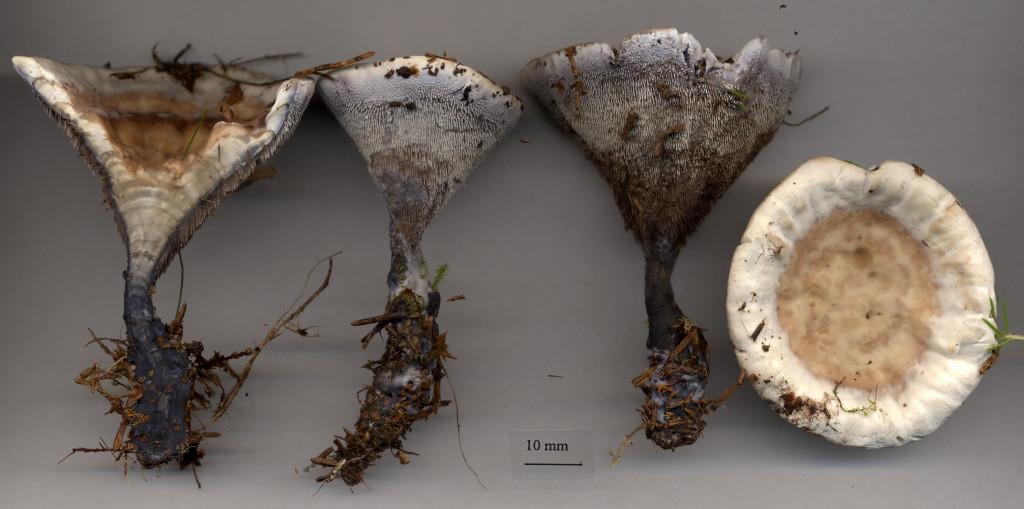 Ofta hittar man dofttaggsvampen längs skogsvägar. Västsura V 25/7 2003. Skannad: Lars Bsenko
