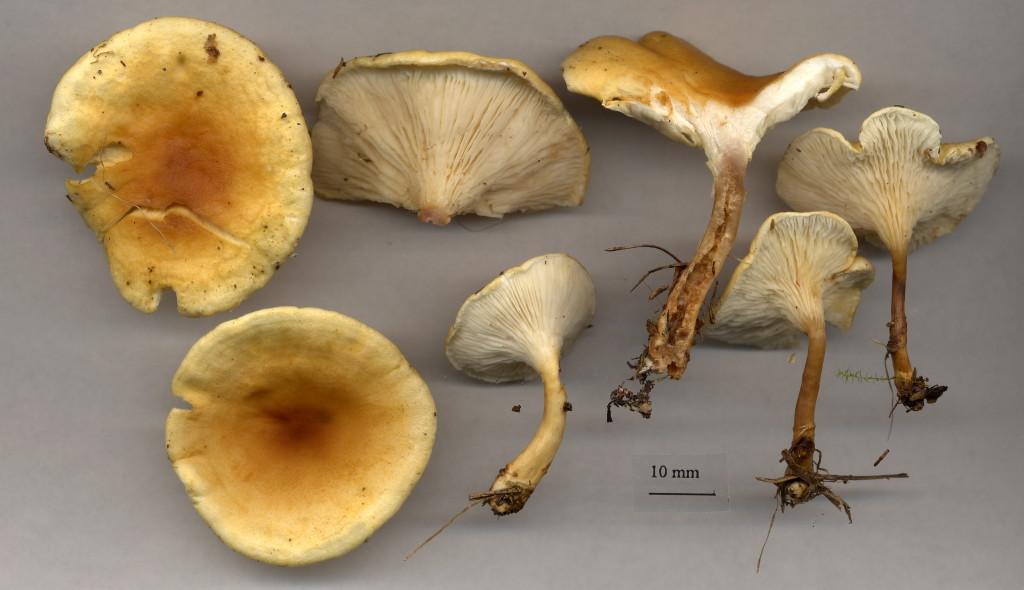 Narrkantarellen är en vanlig svamp i vår natur. Kohagen NR 4/10 2003. Skannad: Lars Bsenko