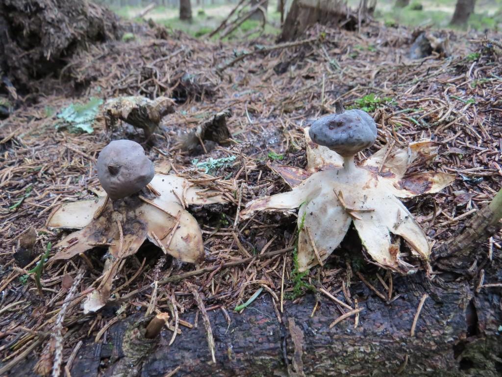 Kamjordstjärnor (40 exemplar räknade), växande i gammal övergiven myrstack i granskog. Björksnaret, Ramnäs, 20/3 2015. Foto: Tom Sävström