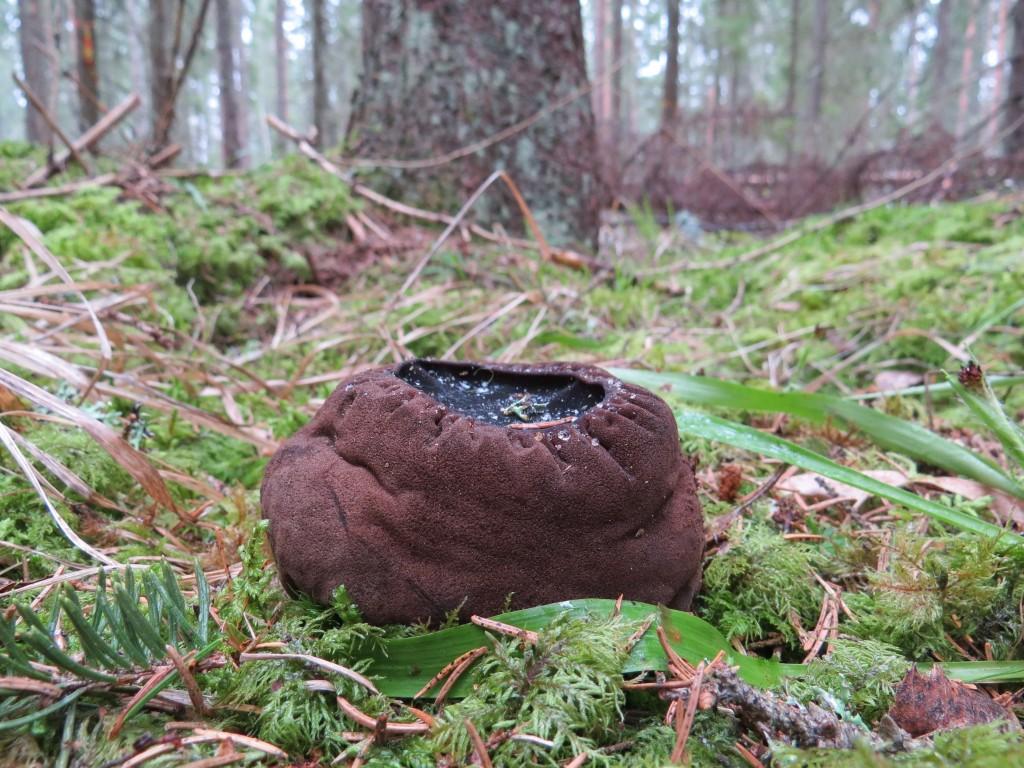 Bombmurkla i gammal granskog, Björksnaret, Ramnäs, 20/3 2015. Foto: Tom Sävström